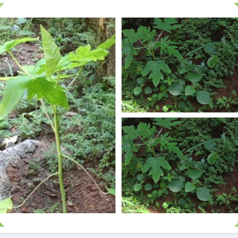 Tree Plantation at Maligaon